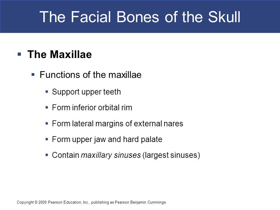 Copyright © 2009 Pearson Education, Inc., publishing as Pearson Benjamin Cummings The Facial Bones of the Skull  The Maxillae  Functions of the maxi