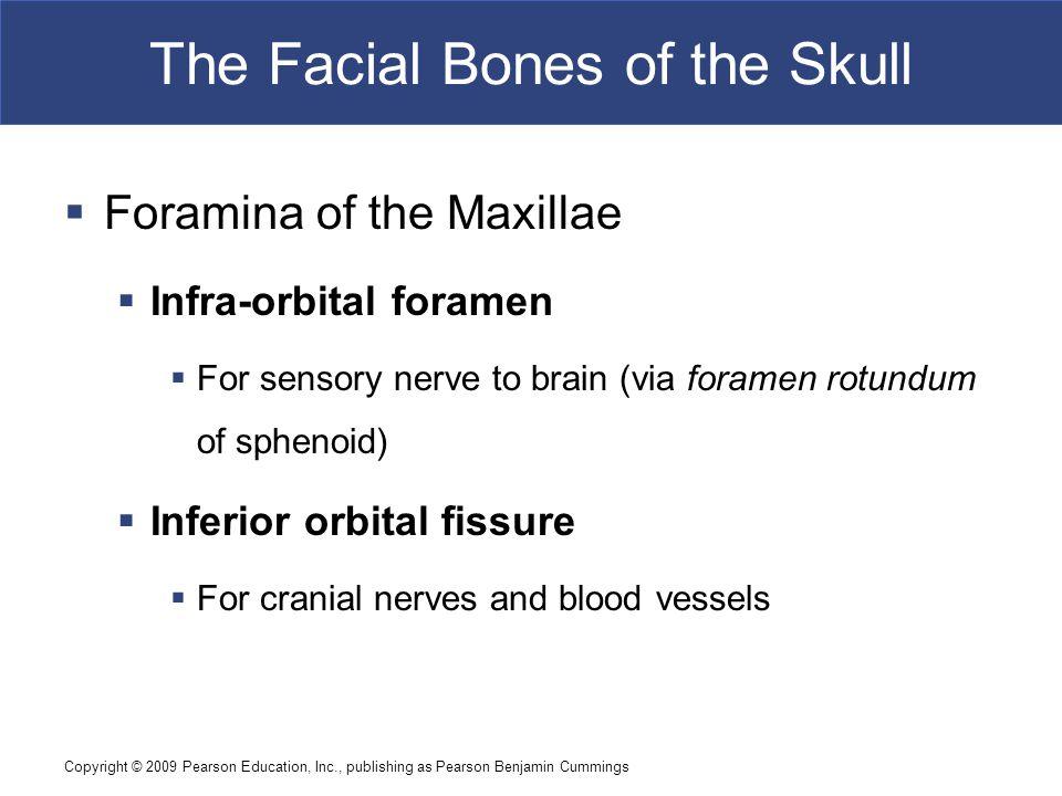 Copyright © 2009 Pearson Education, Inc., publishing as Pearson Benjamin Cummings The Facial Bones of the Skull  Foramina of the Maxillae  Infra-orb