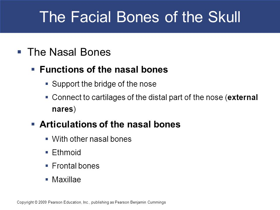 Copyright © 2009 Pearson Education, Inc., publishing as Pearson Benjamin Cummings The Facial Bones of the Skull  The Nasal Bones  Functions of the n