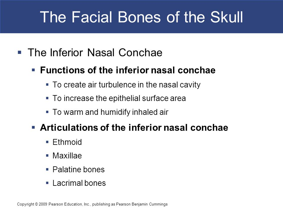 Copyright © 2009 Pearson Education, Inc., publishing as Pearson Benjamin Cummings The Facial Bones of the Skull  The Inferior Nasal Conchae  Functio