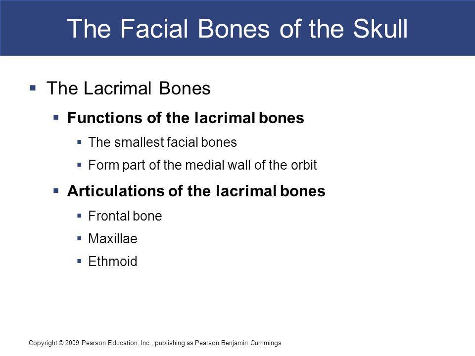 Copyright © 2009 Pearson Education, Inc., publishing as Pearson Benjamin Cummings The Facial Bones of the Skull  The Lacrimal Bones  Functions of th