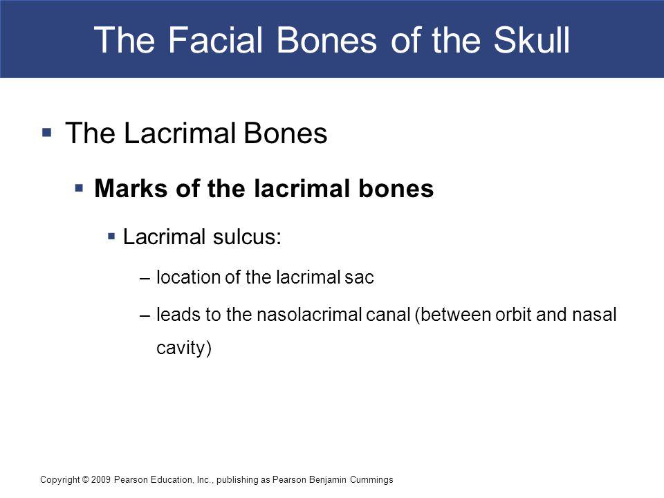 Copyright © 2009 Pearson Education, Inc., publishing as Pearson Benjamin Cummings The Facial Bones of the Skull  The Lacrimal Bones  Marks of the la