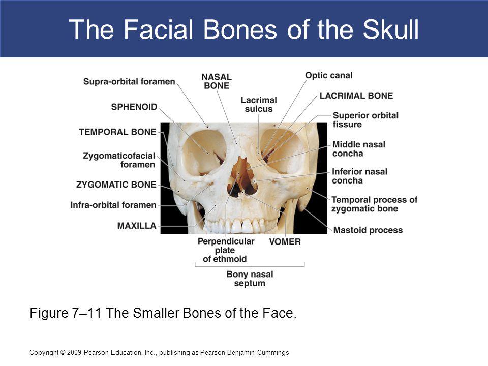 Copyright © 2009 Pearson Education, Inc., publishing as Pearson Benjamin Cummings The Facial Bones of the Skull Figure 7–11 The Smaller Bones of the F