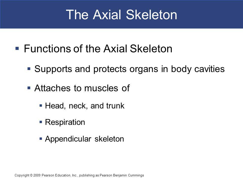 Copyright © 2009 Pearson Education, Inc., publishing as Pearson Benjamin Cummings The Axial Skeleton  Functions of the Axial Skeleton  Supports and