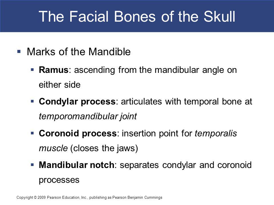 Copyright © 2009 Pearson Education, Inc., publishing as Pearson Benjamin Cummings The Facial Bones of the Skull  Marks of the Mandible  Ramus: ascen