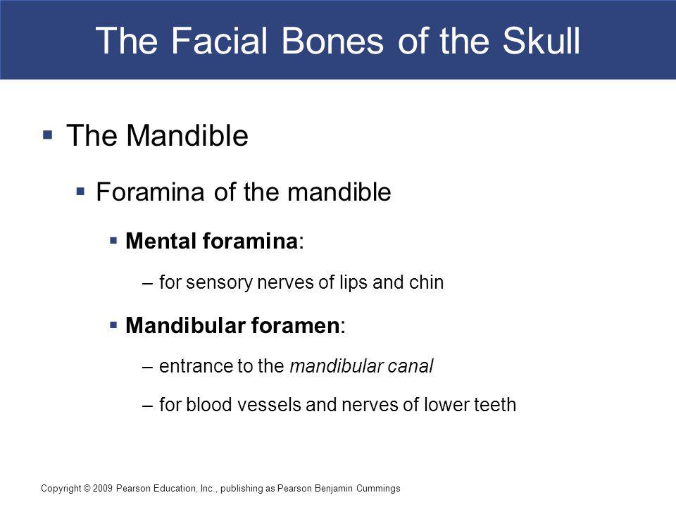 Copyright © 2009 Pearson Education, Inc., publishing as Pearson Benjamin Cummings The Facial Bones of the Skull  The Mandible  Foramina of the mandi