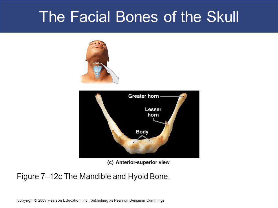 Copyright © 2009 Pearson Education, Inc., publishing as Pearson Benjamin Cummings The Facial Bones of the Skull Figure 7–12c The Mandible and Hyoid Bo