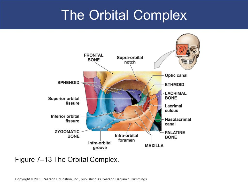 Copyright © 2009 Pearson Education, Inc., publishing as Pearson Benjamin Cummings The Orbital Complex Figure 7–13 The Orbital Complex.