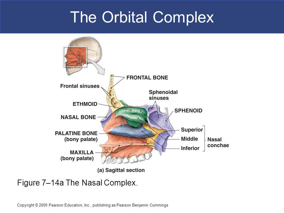Copyright © 2009 Pearson Education, Inc., publishing as Pearson Benjamin Cummings The Orbital Complex Figure 7–14a The Nasal Complex.