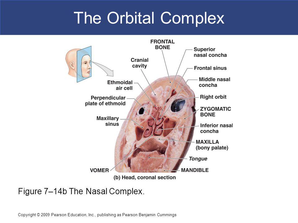 Copyright © 2009 Pearson Education, Inc., publishing as Pearson Benjamin Cummings The Orbital Complex Figure 7–14b The Nasal Complex.