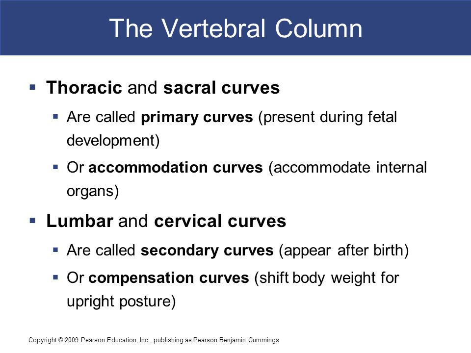 Copyright © 2009 Pearson Education, Inc., publishing as Pearson Benjamin Cummings The Vertebral Column  Thoracic and sacral curves  Are called prima