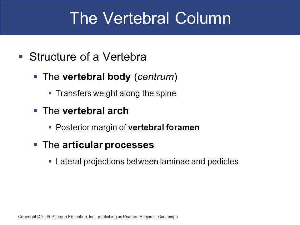 Copyright © 2009 Pearson Education, Inc., publishing as Pearson Benjamin Cummings The Vertebral Column  Structure of a Vertebra  The vertebral body