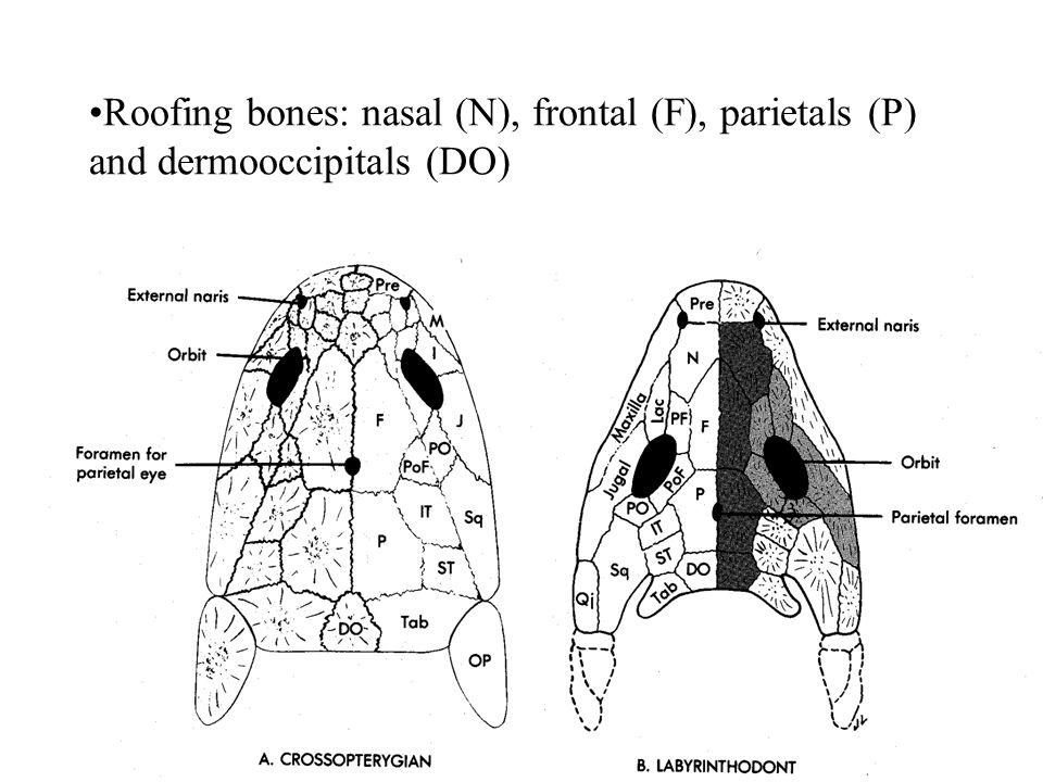 Roofing bones: nasal (N), frontal (F), parietals (P) and dermooccipitals (DO)