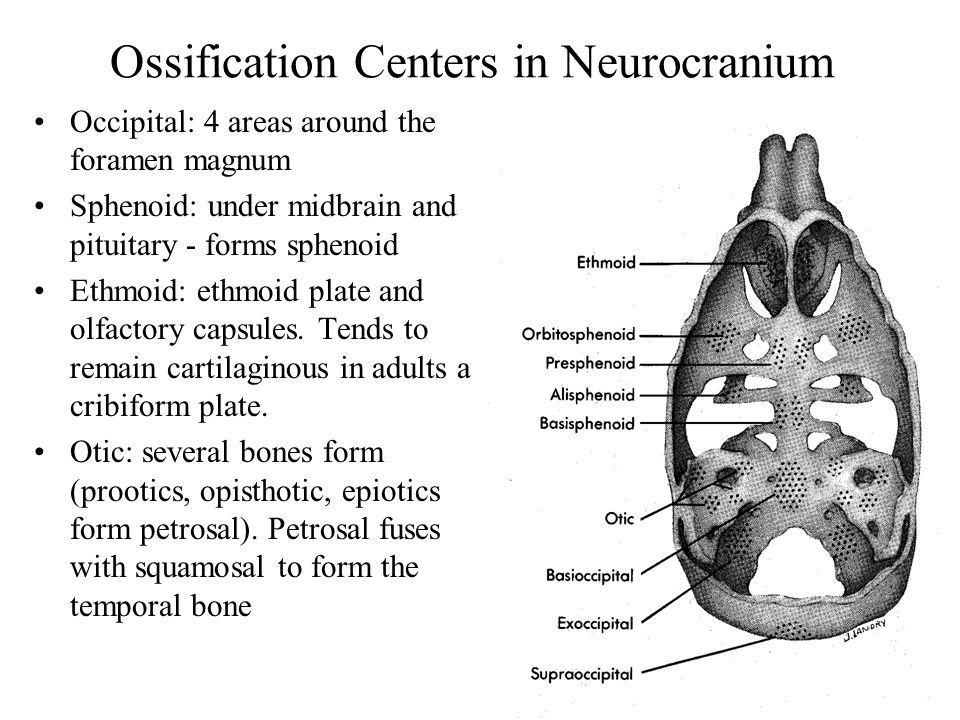 Ossification Centers in Neurocranium Occipital: 4 areas around the foramen magnum Sphenoid: under midbrain and pituitary - forms sphenoid Ethmoid: ethmoid plate and olfactory capsules.