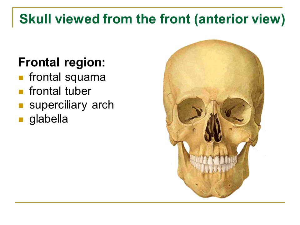 Skull viewed from the front (anterior view) Frontal region: frontal squama frontal tuber superciliary arch glabella