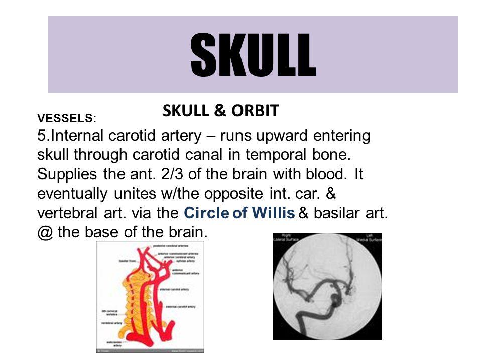 SKULL SKULL & ORBIT VESSELS: 5.Internal carotid artery – runs upward entering skull through carotid canal in temporal bone. Supplies the ant. 2/3 of t