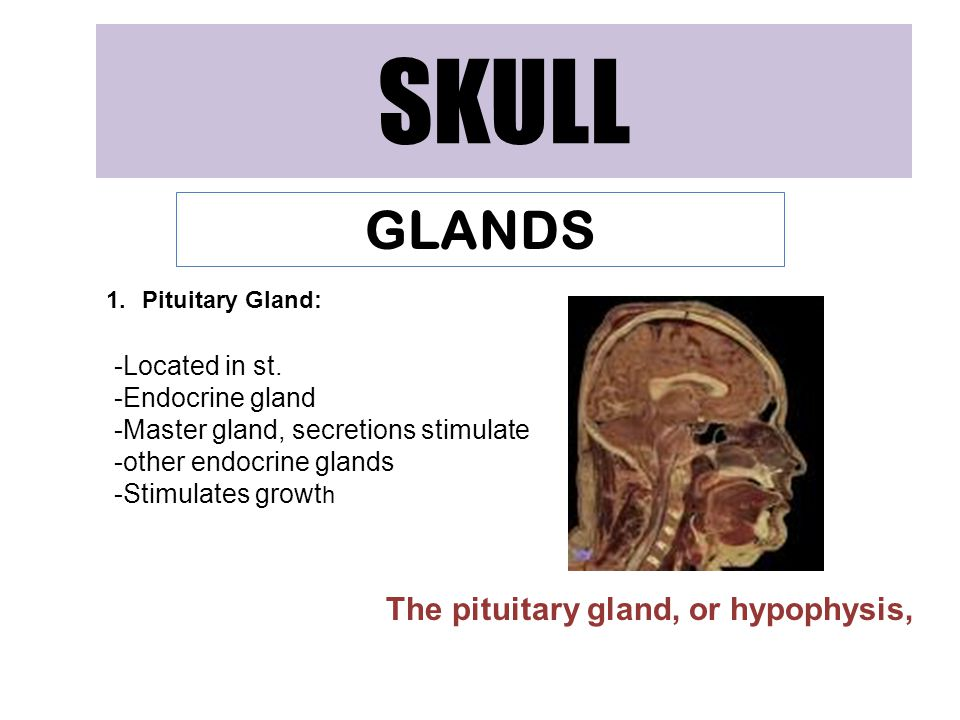 SKULL GLANDS 1.Pituitary Gland: -Located in st.