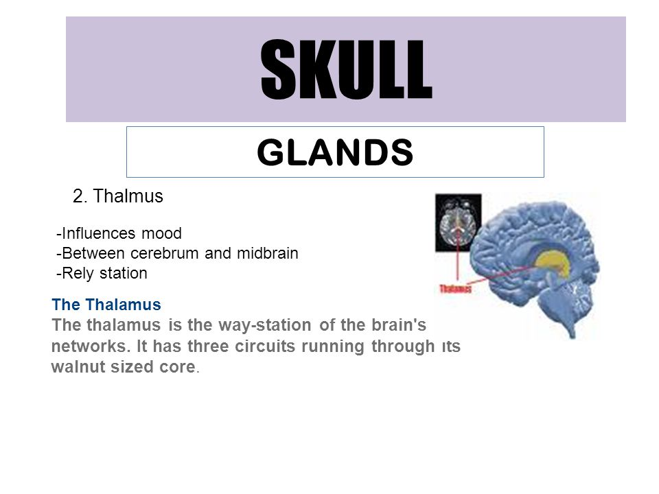 SKULL GLANDS 2. Thalmus -Influences mood -Between cerebrum and midbrain -Rely station The Thalamus The thalamus is the way-station of the brain's netw