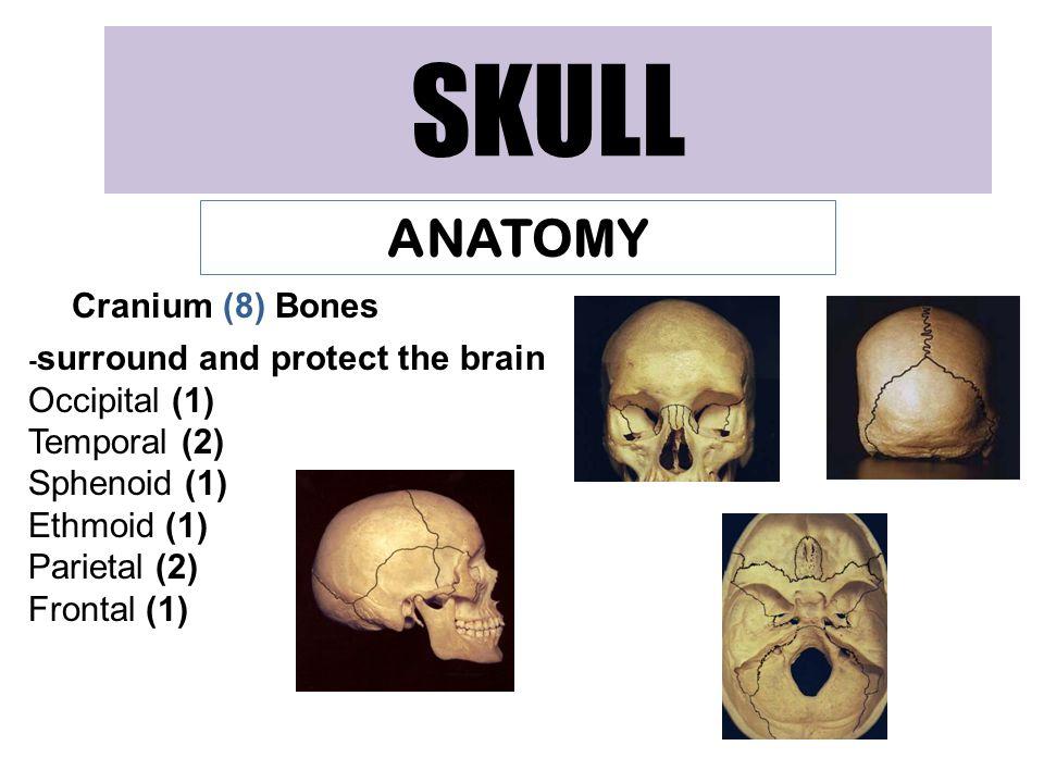 SKULL ANATOMY Cranium (8) Bones - surround and protect the brain Occipital (1) Temporal (2) Sphenoid (1) Ethmoid (1) Parietal (2) Frontal (1)