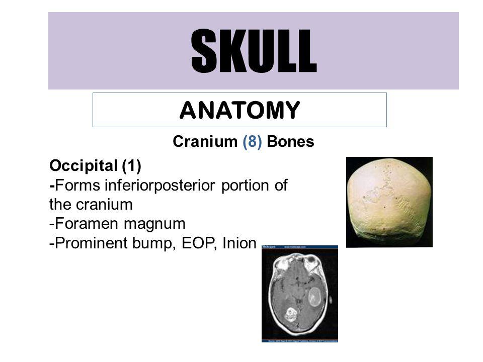 SKULL ANATOMY Cranium (8) Bones Occipital (1) -Forms inferiorposterior portion of the cranium -Foramen magnum -Prominent bump, EOP, Inion