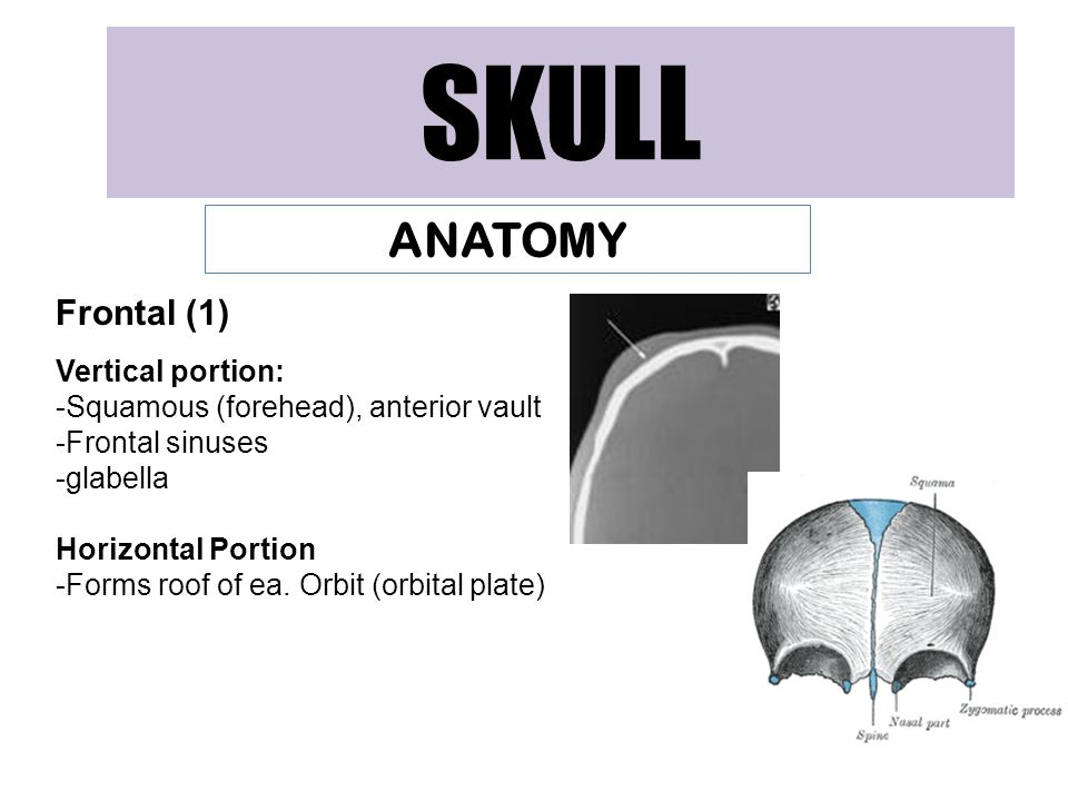 SKULL ANATOMY Frontal (1) Vertical portion: -Squamous (forehead), anterior vault -Frontal sinuses -glabella Horizontal Portion -Forms roof of ea.