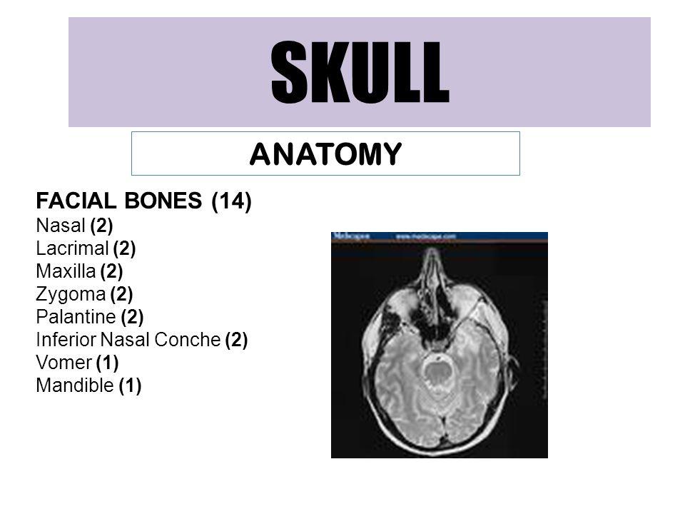 SKULL ANATOMY FACIAL BONES (14) Nasal (2) Lacrimal (2) Maxilla (2) Zygoma (2) Palantine (2) Inferior Nasal Conche (2) Vomer (1) Mandible (1)