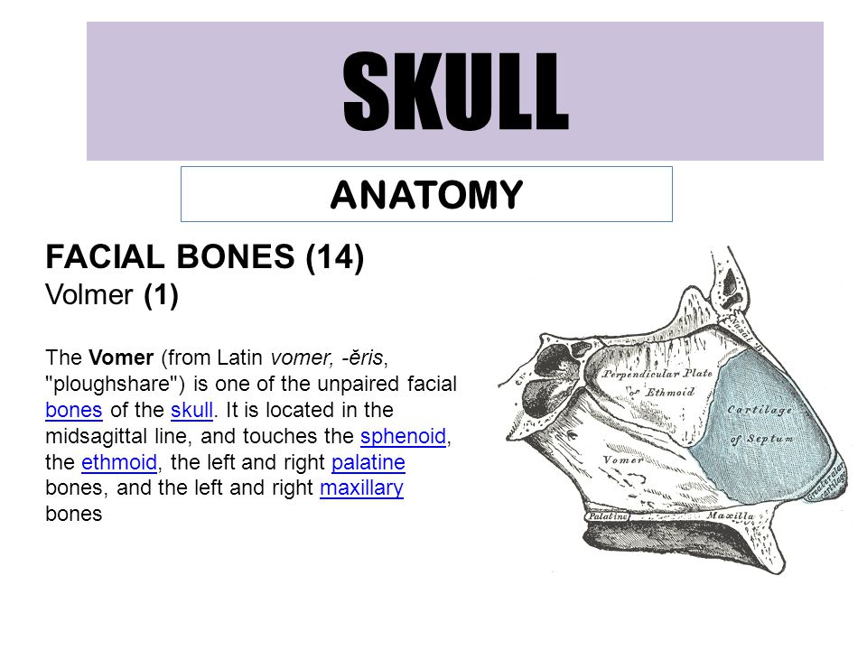SKULL ANATOMY FACIAL BONES (14) Volmer (1) The Vomer (from Latin vomer, -ĕris, ploughshare ) is one of the unpaired facial bones of the skull.