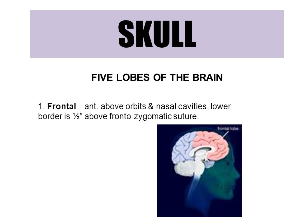 SKULL FIVE LOBES OF THE BRAIN 1.Frontal – ant.