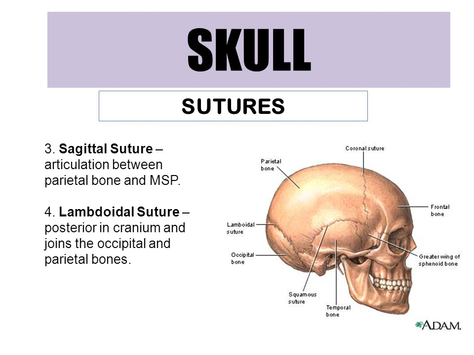 SKULL SUTURES 3. Sagittal Suture – articulation between parietal bone and MSP. 4. Lambdoidal Suture – posterior in cranium and joins the occipital and