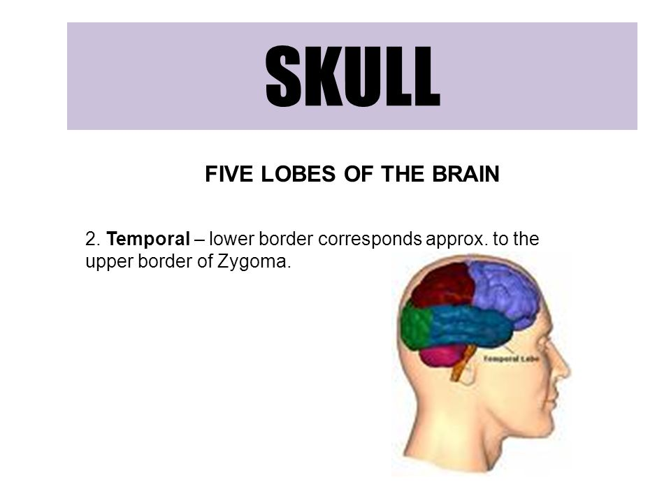 SKULL FIVE LOBES OF THE BRAIN 2.Temporal – lower border corresponds approx.