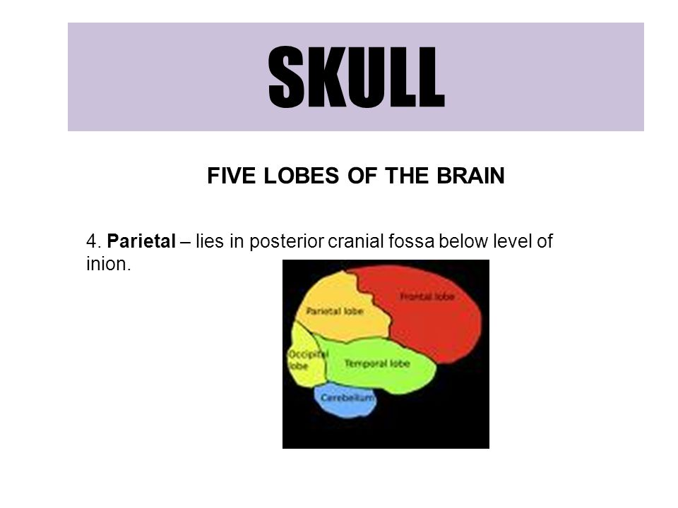 SKULL FIVE LOBES OF THE BRAIN 4. Parietal – lies in posterior cranial fossa below level of inion.