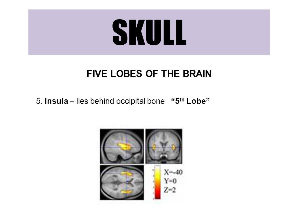 "SKULL FIVE LOBES OF THE BRAIN 5. Insula – lies behind occipital bone ""5 th Lobe"""