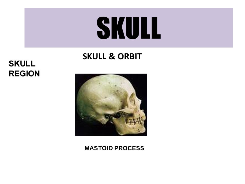 SKULL SKULL & ORBIT SKULL REGION MASTOID PROCESS