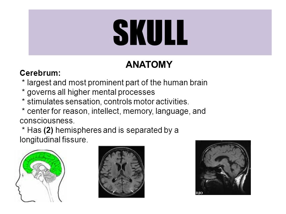SKULL ANATOMY Cerebrum: * largest and most prominent part of the human brain * governs all higher mental processes * stimulates sensation, controls motor activities.