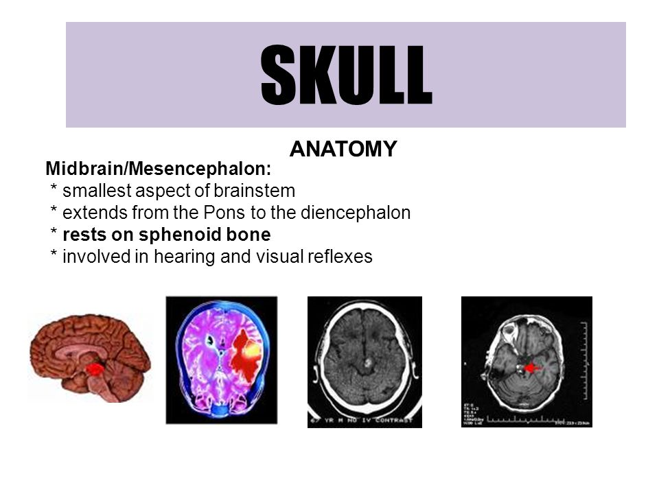 SKULL ANATOMY Midbrain/Mesencephalon: * smallest aspect of brainstem * extends from the Pons to the diencephalon * rests on sphenoid bone * involved in hearing and visual reflexes