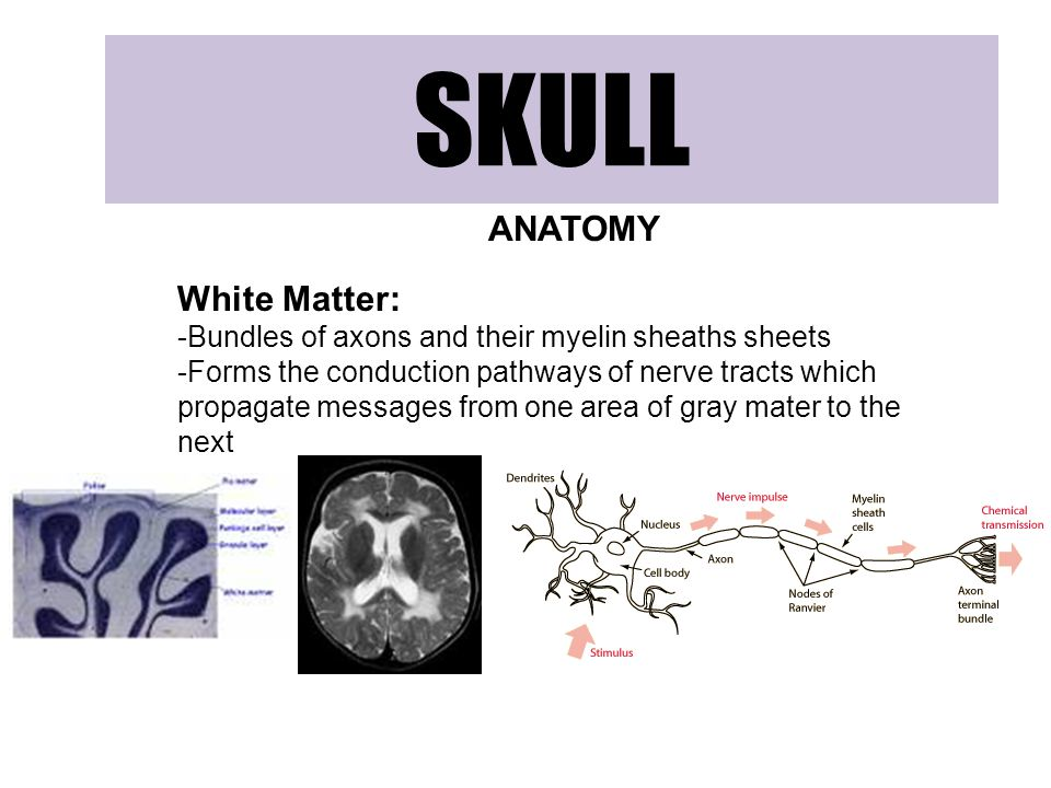 SKULL ANATOMY White Matter: -Bundles of axons and their myelin sheaths sheets -Forms the conduction pathways of nerve tracts which propagate messages from one area of gray mater to the next