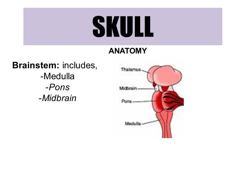 SKULL ANATOMY Brainstem: includes, -Medulla -Pons -Midbrain