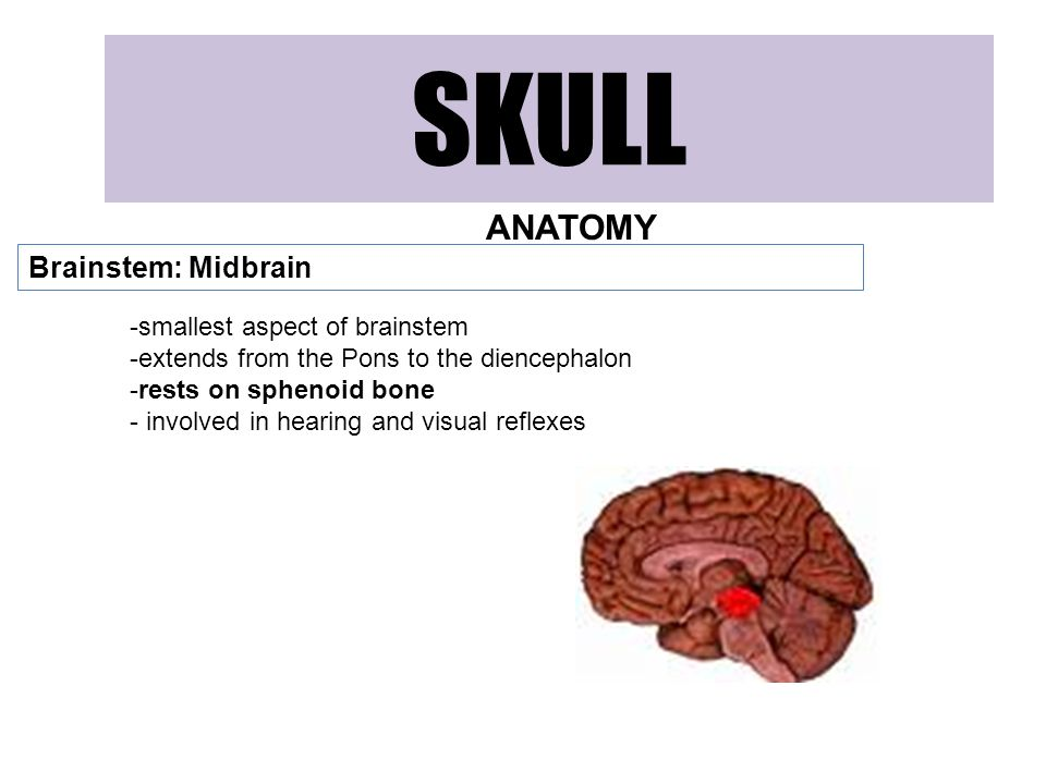 SKULL ANATOMY Brainstem: Midbrain -smallest aspect of brainstem -extends from the Pons to the diencephalon -rests on sphenoid bone - involved in hearing and visual reflexes