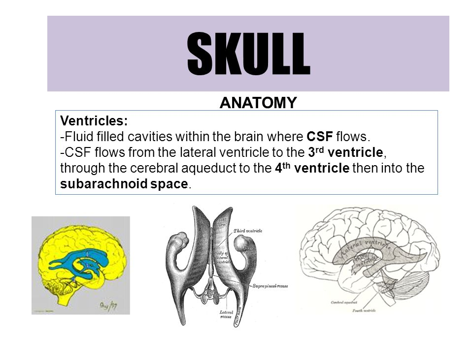 SKULL ANATOMY Ventricles: -Fluid filled cavities within the brain where CSF flows.