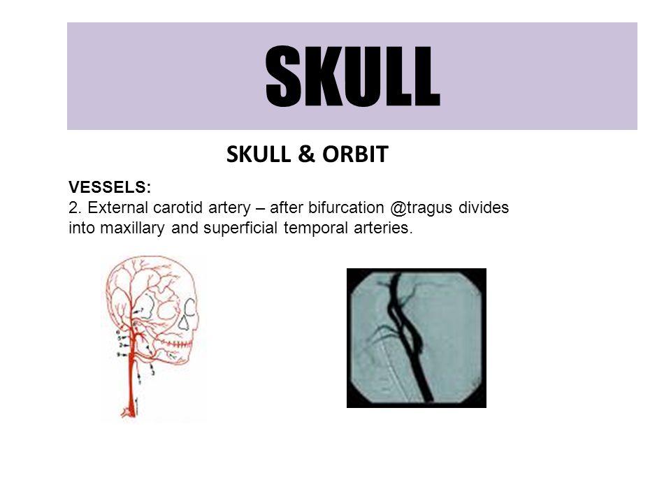 SKULL SKULL & ORBIT VESSELS: 2. External carotid artery – after bifurcation @tragus divides into maxillary and superficial temporal arteries.