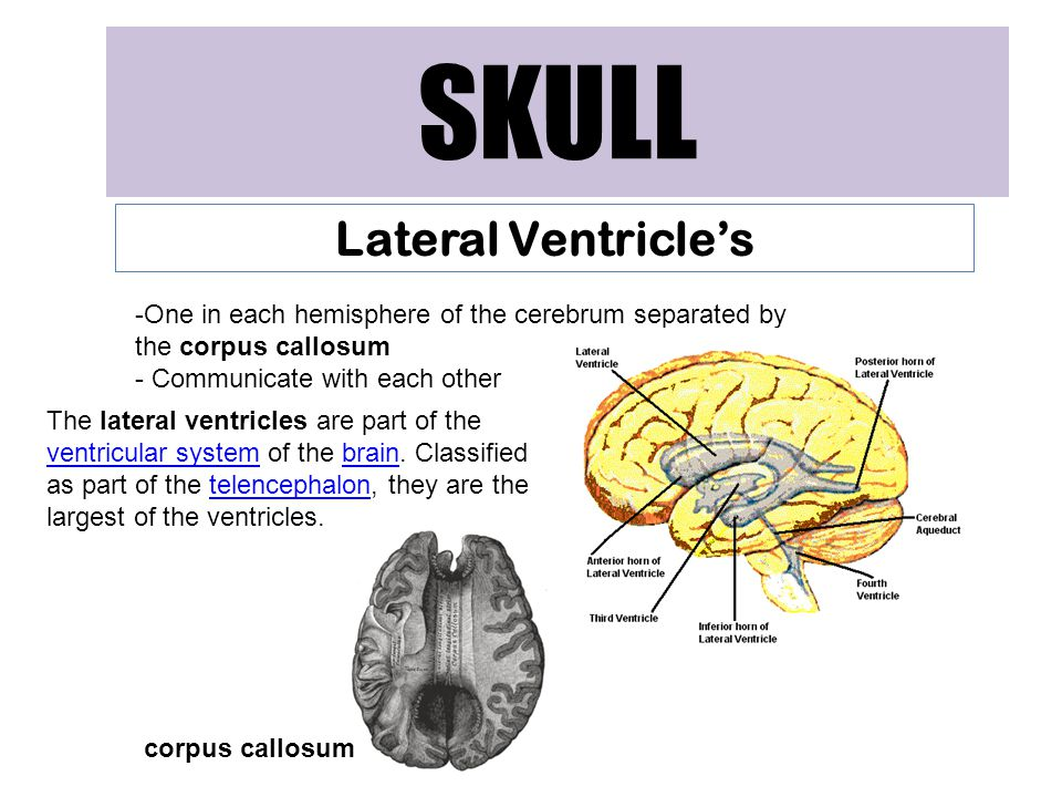 SKULL Lateral Ventricle's -One in each hemisphere of the cerebrum separated by the corpus callosum - Communicate with each other The lateral ventricles are part of the ventricular system of the brain.