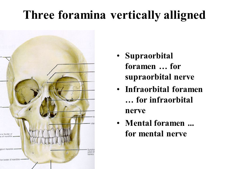 Bony Landmarks of Skull and Face Vertex Superciliary arch Zygoma Mental symphysis Entrance to orbit Anterior nasal aperture