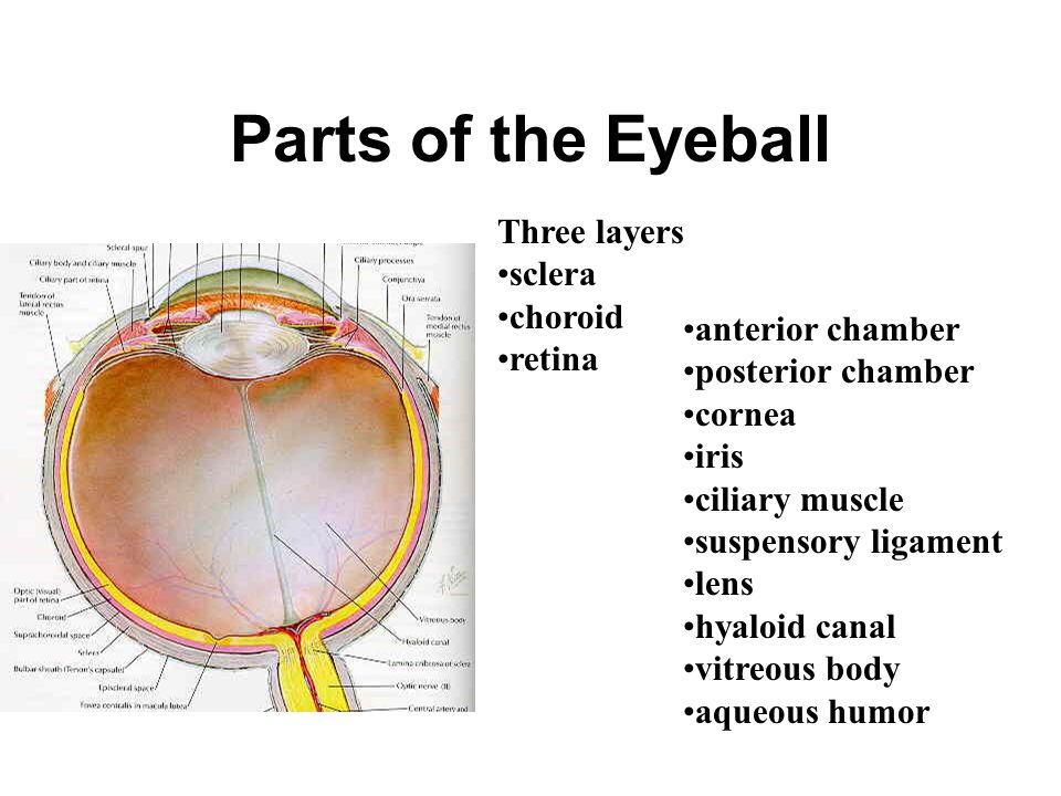 Functional Tests of the Extra-Ocular Muscle Principle align the muscle axis with the eyeball AP axis contract the muscle e.g., for Superior Rectus abd
