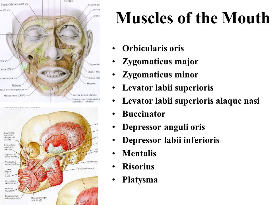 Muscles of Facial Expression Muscle of the forehead … frontalis, as part of the occipitofrontalis Muscles of the mouth Muscle of the eyelids Muscle of