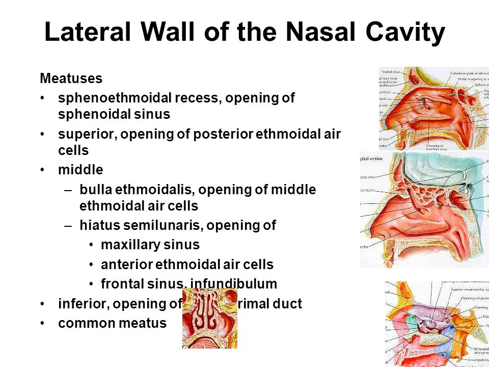 Lateral Wall of the Nasal Cavity Chonchae superior, part of ethmoid middle, part of ethmoid inferior, separate bone