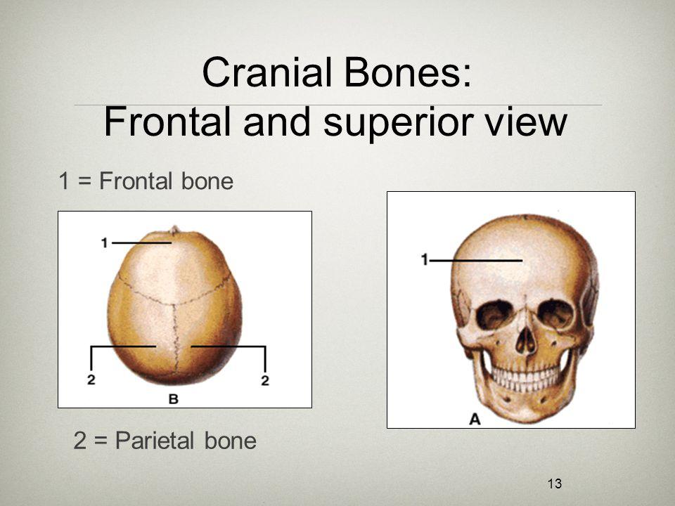 13 Cranial Bones: Frontal and superior view 1 = Frontal bone 2 = Parietal bone