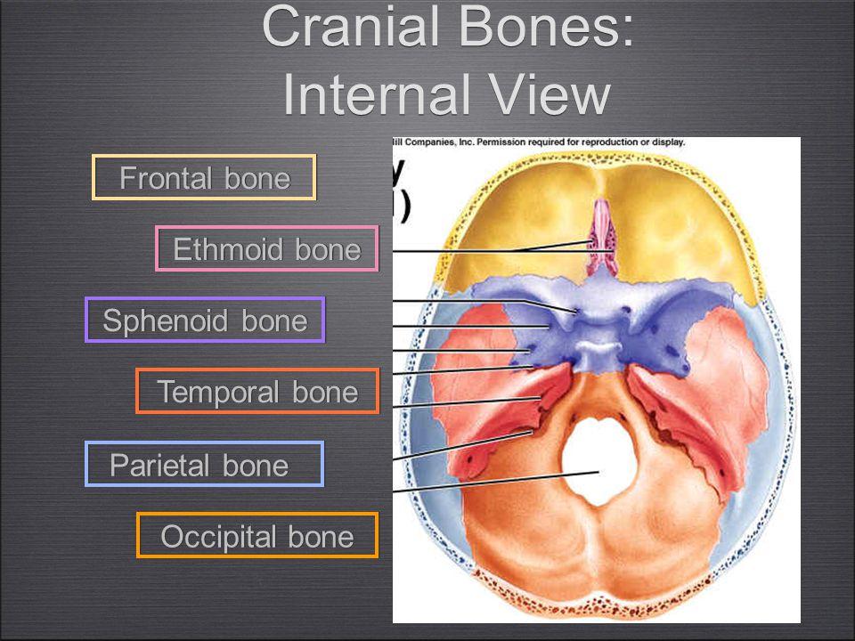 16 Cranial Bones: Internal View Frontal bone Occipital bone Ethmoid bone Sphenoid bone Temporal bone Parietal bone