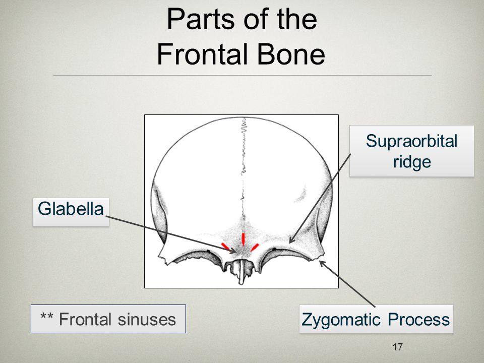 17 Parts of the Frontal Bone Glabella Supraorbital ridge Zygomatic Process ** Frontal sinuses