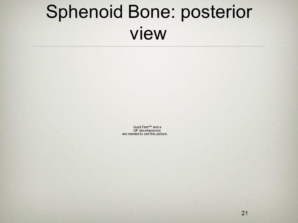 21 Sphenoid Bone: posterior view