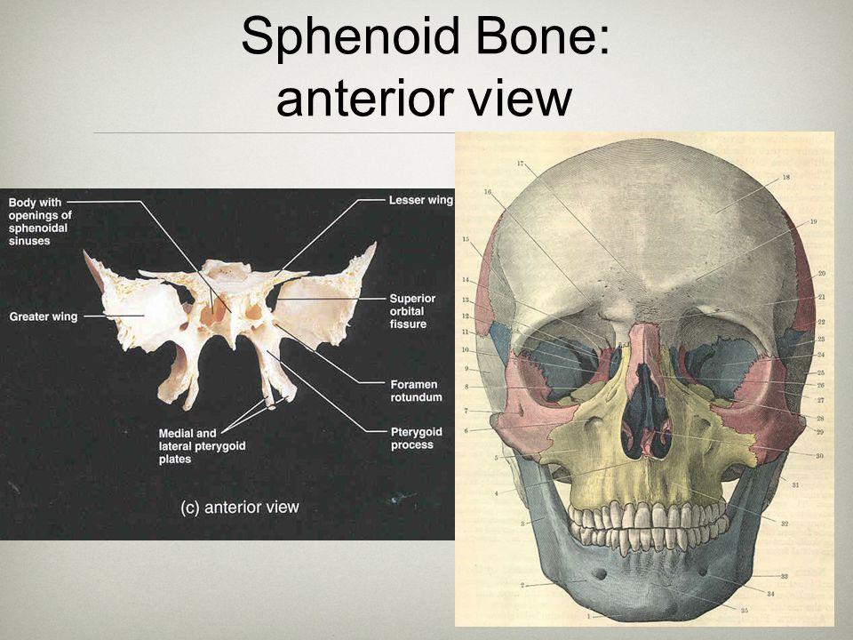 22 Sphenoid Bone: anterior view